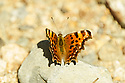 The stunning Eastern Comma Butterfly gets its' name from a comma shaped mark on the underside of its' wings.