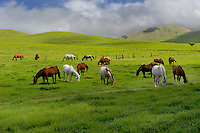 Horses in the Kohala Mountains<br />