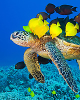 endangered species, green sea turtle, Chelonia mydas, being cleaned by yellow tang, Zebrasoma flavescens, endemic gold-ring surgeonfish, Ctenochaetus strigosus, and endemic saddle wrasse, Thalassoma duperrey, Kona Coast, Big Island, Hawaii, USA, Pacific Ocean
