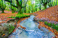 European beech, or common beech, Fagus sylvatica, and stream, Otzarreta forest, Gorbea Natural Park, Basque Country, Spain