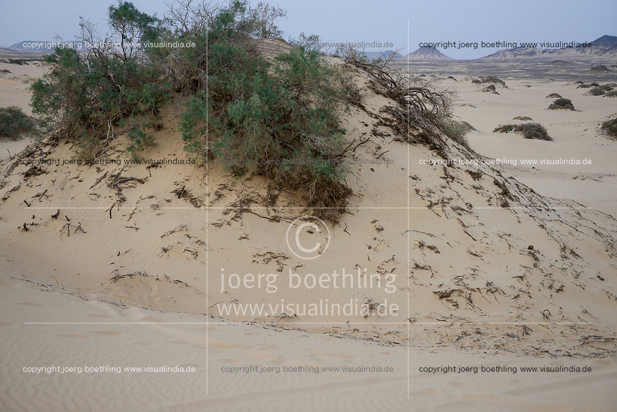 EGYPT, Bahariyya, Black desert and sand dunes , tamarisk or tamarix trees with large roots and sand hill / AEGYPTEN, Bahariyya, Schwarze Wueste und Sandduene, Tamarisken baumartige Pflanzen