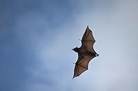 Fruit Bats Palawan Philippines