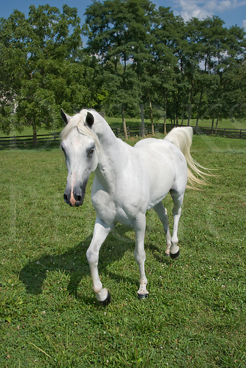 Picture of a running white Arabian horse in three quarter view.