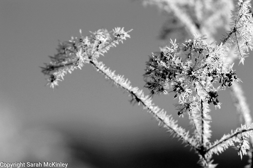 Spikes of frost cover dried Queen Anne's Lace outside Willits in Mendocino County in Northern California.