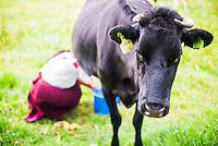 Cow being milked by an Indiginous Cayambe Lady, Zuleta Farm, Imbabura, Ecuador, South America