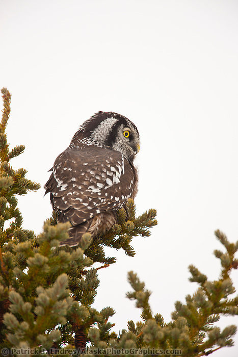 Northern hawk owl in spruce tree, Denali National Park, Interior, Alaska.