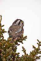 Northern hawk owl in spruce tree, Denali National Park, Interior, Alaska.