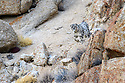 Female snow leopard (Panthera uncia)(sometimes Uncia uncia) beginning to stalk prey through broken rocky terrain. Ladakh Range, Western Himalayas, Ladakh, India.