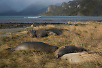 .Les éléphants de mer se reposent sur les plages de la baie d'Ainsworth.sea elephants on a small island. Almirantazgo fjord. Ainsworth Bay nearby Darwin cordillera