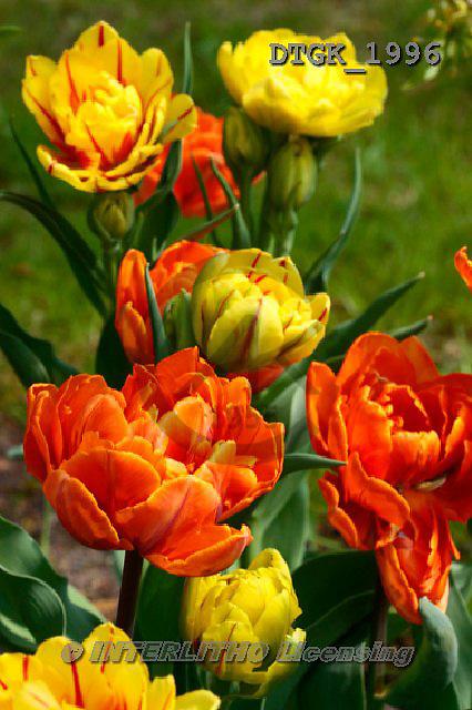 Gisela, FLOWERS, BLUMEN, FLORES, photos+++++,DTGK1996,#f#