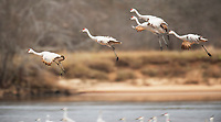 Sandhill cranes roost for the night on Helena Island, along the Wisconsin River at the Aldo Leopold Foundation near Baraboo, Wisconsin on Saturday, November 25, 2016