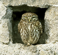 Little Owl Athene noctua L 22cm. Our smallest owl. Has large-headed, short-tailed and overall dumpy silhouette. Partly diurnal and seen perched on fenceposts and dead branches. Sometimes bobs head and body when agitated. Sexes are similar. Adult has brown upperparts with whitish spots; pale underparts have dark streaks. Note yellow eyes. Juvenile is duller and lacks spots on head. Voice Calls include cat-like kiu, uttered repeatedly in early evening. Status Introduced from mainland Europe in 19th Century. Now widespread and fairly common in S Britain. Nests in tree holes and cavities in stone walls.