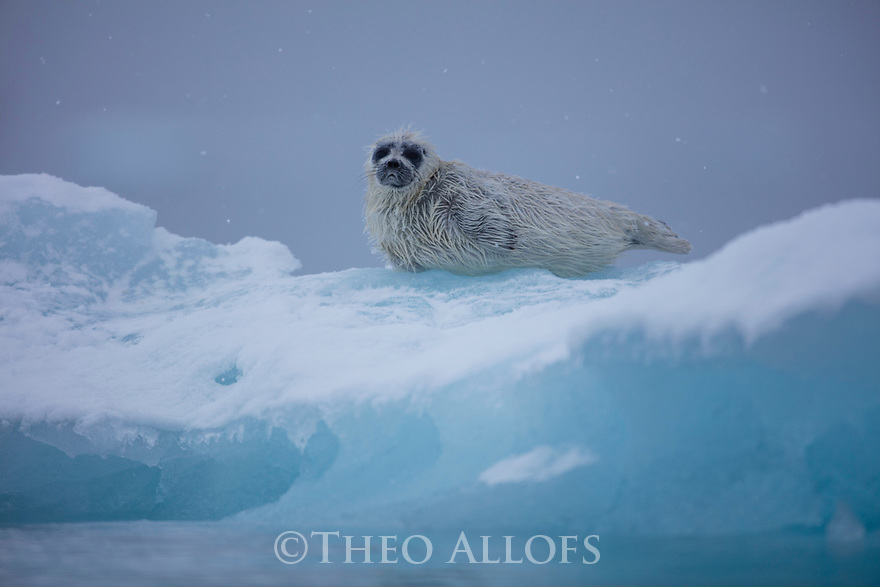 Norway, Svalbard, ringed seal pup (Pusa hispida) on ice floe