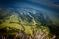 With imagination, features appear in an algae bloom - nose then closed eyes.  Lake Chabot Regional Park.