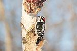 Male downy woodpecker feeding on deer scraps nailed to a birch tree.