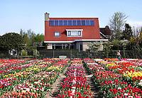 Nederland Limmen 2018.  Niet alleen in Keukenhof zijn bijzondere tulpen te zien. In Noord-Holland ligt de Hortus Bulborum. In de tuin staan meer dan 4000 soorten bloemen. De hortus, waarin voornamelijk tulpen en narcissen staan, is in 1928 opgericht. Huis met zonnepanelen. Foto Berlinda van Dam / Hollandse Hoogte