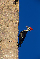 Pileated Woodpecker, Dryocopus pileatus, male on palm tree, Sanibel Island, Florida, USA