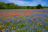 Meadow of Texas Paintbrush and Texas Bluebonnet wildflowers and Oak Trees, Texas Hill Country, Texas, USA.