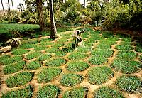 Farmer  watering his onion crop