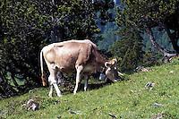 Liechtenstein  Malbun  June 2008.Small town high in the Alpine (southeastern)..The  Brown Swiss cows to the pasture..