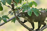 White-nosed Coati, Carara, Costa Rica, Central America.