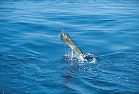gamefish, dorado or mahi mahi, Coryphaena hippurus large bull, leaping The Bahamas, Caribbean, Atlantic