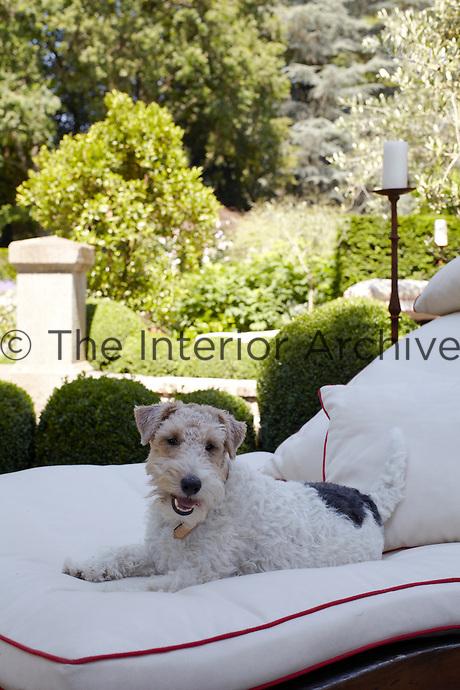 A smiling fox terrier takes advantage of a comfortable sun lounger in the garden