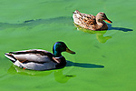 Mallard Ducks swimming in green algae, Irvine, CA