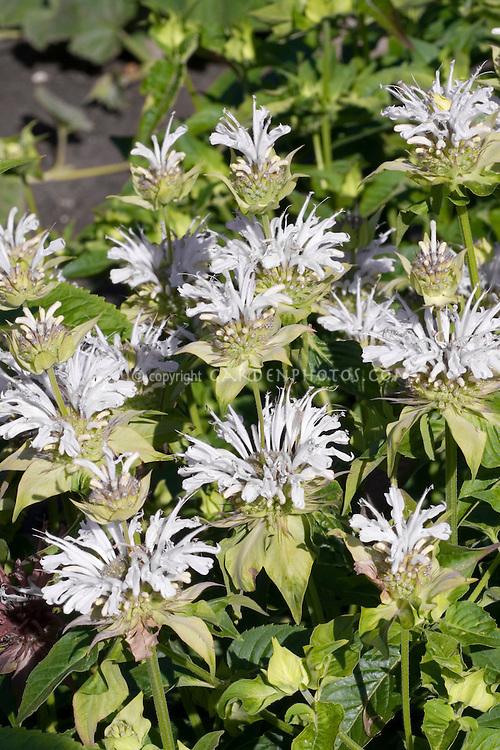 Monarda Snow White Beebalm in bloom with white flowers
