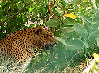 Fierce looking leopard popping out of dense shrubs ready to attack the prey in the forest