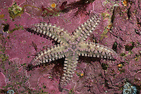 Eisstern, Eisseestern, Eis-Seestern, Warzenstern, Warzenseestern, Warzen-Seestern, Seestern, Marthasterias glacialis, Spiny starfish, Spiny sea star, starfish, starfishes, sea-star, seastar, sea-stars, Seesterne