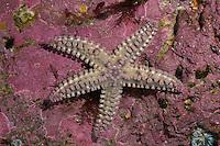 Eisstern, Eisseestern, Eis-Seestern, Warzenstern, Warzenseestern, Warzen-Seestern, Seestern, Marthasterias glacialis, Spiny starfish, Spiny sea star, starfish, starfishes, sea-star, seastar, sea-stars, Seesterne