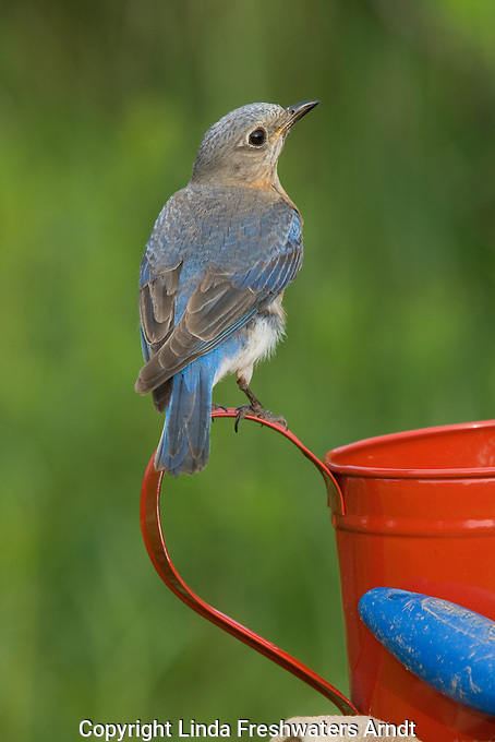 Female eastern bluebird perched on a red watering can