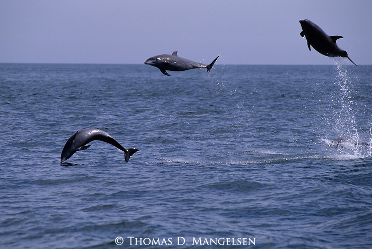 Pacific bottlenose dolphins leaping out of the ocean off the coast of Baja California, Mexico.