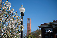 Pear blossom with Chapel tower and YMCA Building.<br />  (photo by Megan Bean / &copy; Mississippi State University)