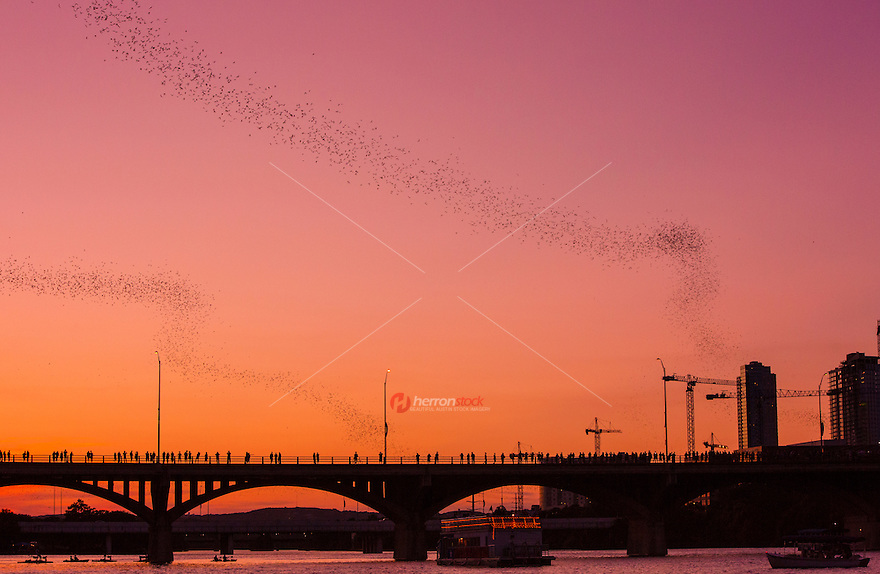 Thousands of local spectators and international tourists and gather nightly at the Ann Richards Congress Avenue Bridge to watch Austin's Mexican/Brazilian Freetail Bat population leave their roosts for the evening emergence of insect feeding.