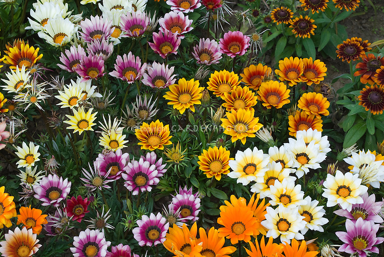 Gazania Kiss Mixed
