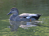 Adult male gadwall in breeding plumage in Concho River
