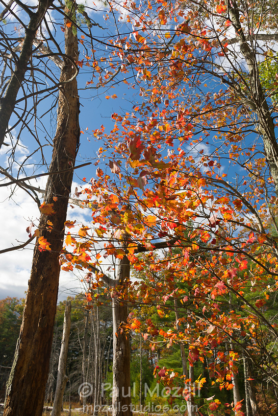 Red maple leaves in full autumn color, Harold Parker State Forest, Andover, MA