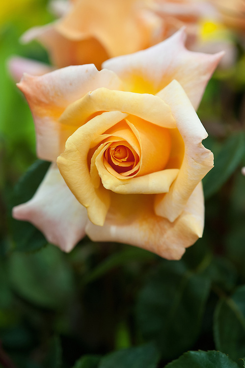 Rosa Special Occasion ('Fryyoung'), early July. A Hybrid Tea rose with large, scented, coppery-apricot flowers.