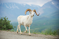 June 27, 2013, Male Dall Sheep, Polychrome Pass, Denali National Park and Preserve, Alaska, United States.