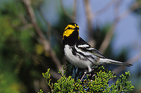 Golden-cheeked Warbler, Dendroica chrysoparia, male, San Antonio, Texas, USA, April 2003