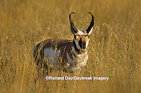 01984-00318 Pronghorn (Antilocapra americana) buck    MT