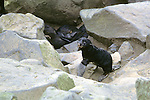 Northern Fur Seal Pup