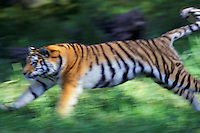 4MR606  Siberian tiger running (panned photo)..(Minnesota Zoo, Apple Valley, MN)