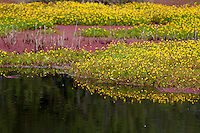 A patch of bright yellow flowers and their reflection in the water of a bog on Samoa near Eureka in Humboldt County in Northern California.