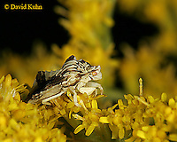 0904-06rr  Ambush bug - Phymata spp. Virginia - © David Kuhn/Dwight Kuhn Photography