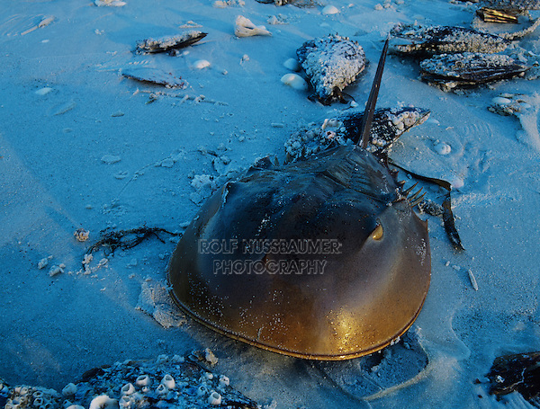 Horseshoe Crab, Limulus polyphemus, adult on beach, Sanibel Island, Florida, USA