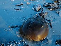 Horseshoe Crab, Limulus polyphemus, adult on beach, Sanibel Island, Florida, USA