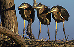 three fledgling great blue herons await breakfast in their nest on Bloodsworth Island, Chesapeake Bay